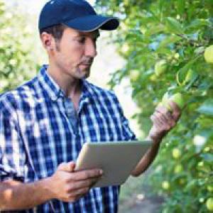Man assessing fresh produce in tree